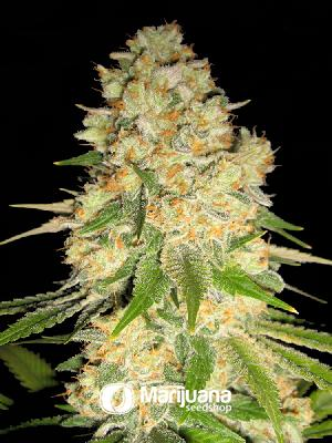 Afghan Feminized seeds