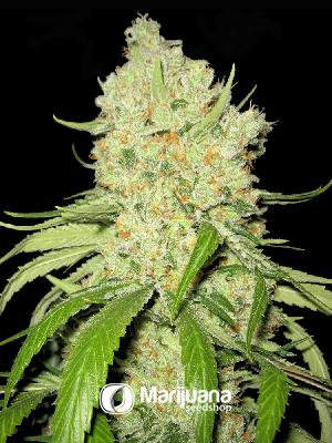 Aussie Blues Feminized seeds