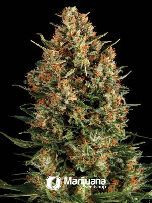 Borderliner Extreme Feminized seeds
