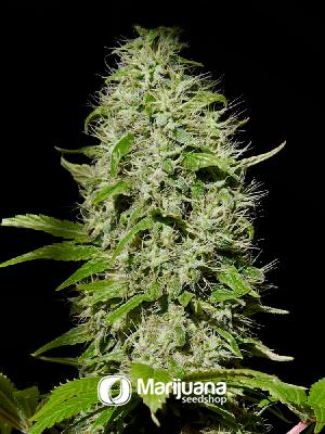 Buddha Cheese Feminized seeds