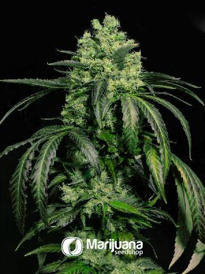 Doctor Green Feminized seeds