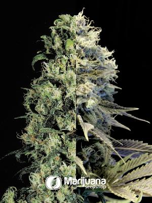 Fast Flowering Feminized Combo seeds