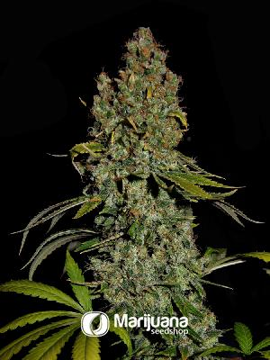 Head Cheese Feminized seeds