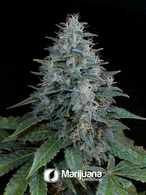 Light of Jah Autoflower seeds