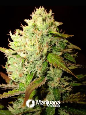 Medijuana Feminized seeds