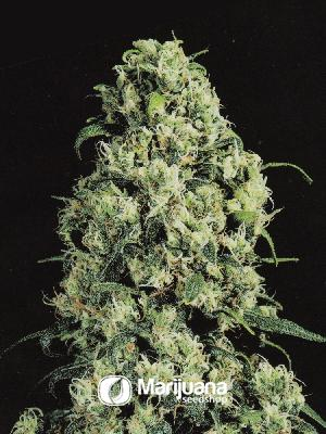 Skunk #1 Feminized seeds
