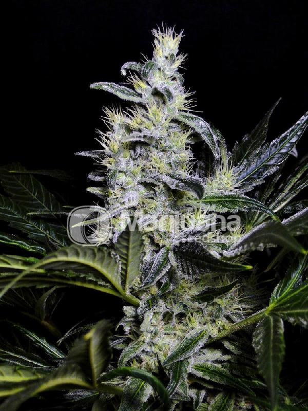 buy skywalker og seeds online   marijuana seed shop