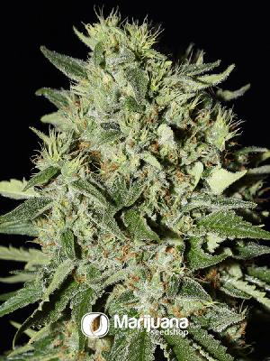 White Rhino Feminized seeds