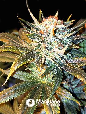 White Shark Feminized seeds